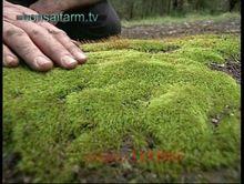 200pcs moss seeds,Sagina Subulata Seeds,bonsai moss decorative grass seeds,potted plant for DIY home garden(China (Mainland))