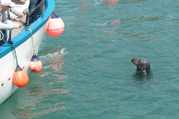 Seal in St Ives Harbour