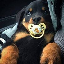 Rottie puppy with a pacifier!