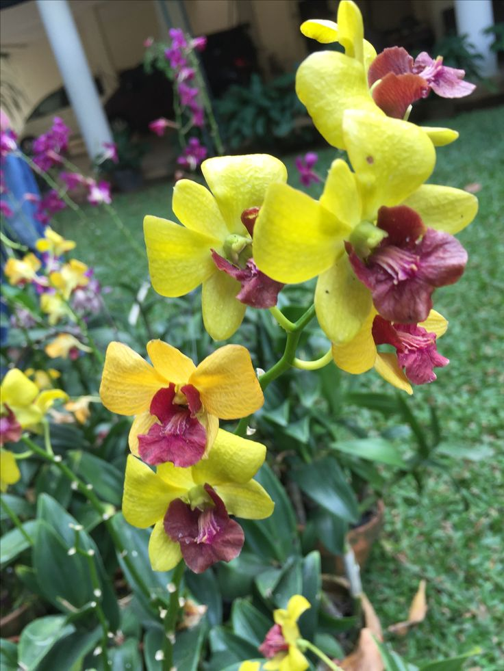 Dendrobium bulan juni
