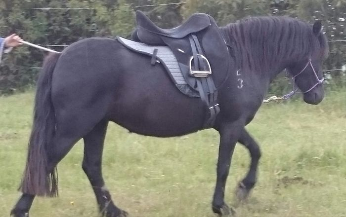 Purebred Dartmoor pony - Outlook Dartupp. Reg APSB.  Black filly not yet under saddle.  Offered in foal, empty or started under saddle. Has scarring on ns hindleg.