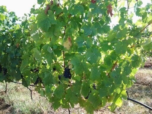 Grapes wine pinot nero