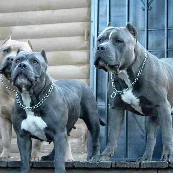 Dogs: Beautiful Pittbulls.