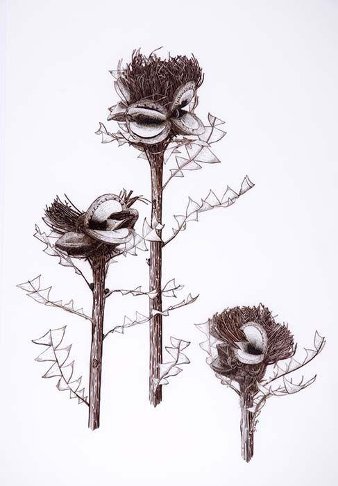 banksia baxteri - Google Search