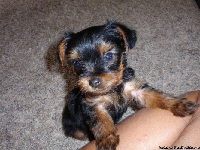 yorkie price 17 best ideas about teacup yorkie price on pinterest 1058