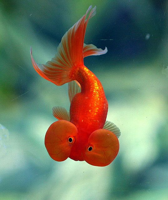 """Bubble-eyed Goldfish by Chi Liu on Flickr Past post said""""Me and my childhood friend, Meghan, used to call these """"bubble butt"""" fish. We knew that it was their heads, though."""""""