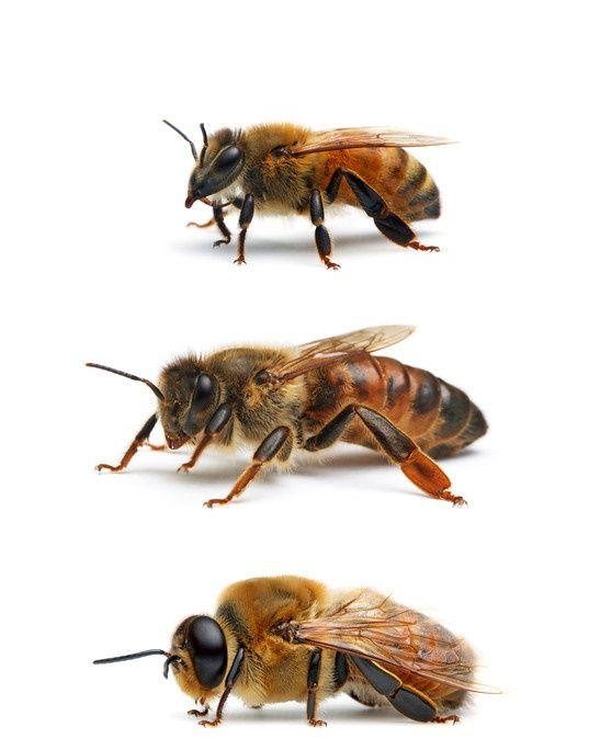 Información interesante y curiosa sobre las abejas