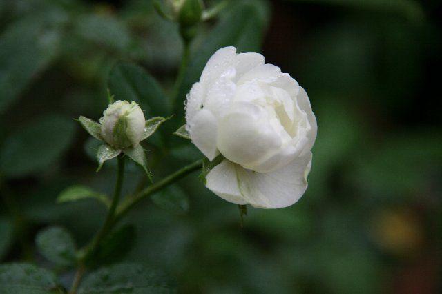 Λευκό Τριαντάφυλλο / Rose Blanche