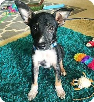 MCLEAN, VA - Australian Cattle Dog/Corgi Mix. Meet Buddy, a puppy for adoption. http://www.adoptapet.com/pet/17481717-mclean-virginia-australian-cattle-dog-mix