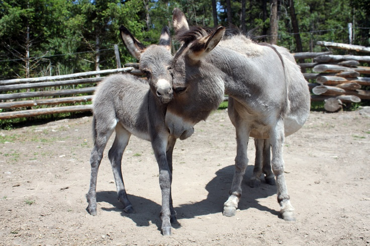 baby miniature donkey  By Laura Kelsey - wordsmore.com
