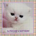 Persian kittens for sale|Teacup kittens for sale|Chinchilla Persian kittens for sale