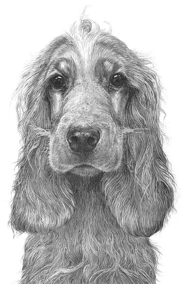 Cocker spaniel. Pencil drawing by Gary Hodges.