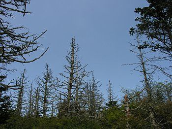 Fraser Fir (Abies fraseri) | In many areas, most or all of the adult Fraser Fir trees have been killed by a combination of factors, leaving behind skeleton forests. The main factor leading to the massive die-off is infestation by the introduced Balsam Woolly Adelgid (Adelges piceae). Acid rain and air pollution also may contribute to the decline.  Grayson Co., VA 5/28/06.
