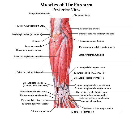 how to remember muscles of forearm