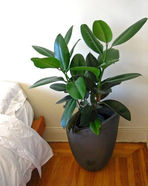 Best air purifying plants for your home: Rubber Plant Aloe Vera Areca Palm Azalea