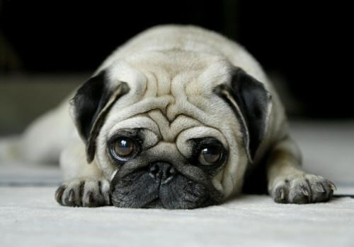 pugs: Pugs Puppies,  Pug-Dog, Funny Pugs, Puppies Dogs Eye, Pet, Pugs Dogs, Cute Pugs, Baby Animal, Baby Dogs