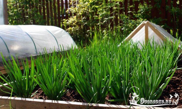 Как вырастить зеленый лук в домашних условиях, а также какой сорт лучше выбрать? Как получить сочные и густые перья? Опытные агрономы раскрывают все секреты!