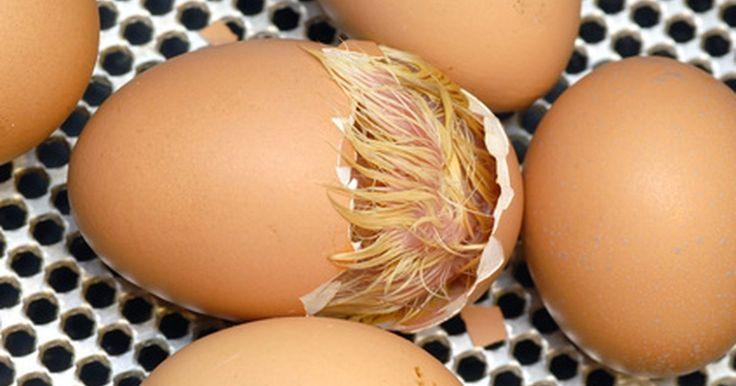 Cómo hacer tu propia incubadora para un proyecto de ciencia. Una idea divertida para un proyecto de ciencia es incubar un huevo de gallina y monitorear el progreso del polluelo desde el inicio de su crecimiento hasta su salida del cascarón. Sin embargo comprar una incubadora puede ser muy caro, especialmente si la necesitas para usarla solo una vez. Por fortuna, puedes crear una simple y efectiva incubadora ...