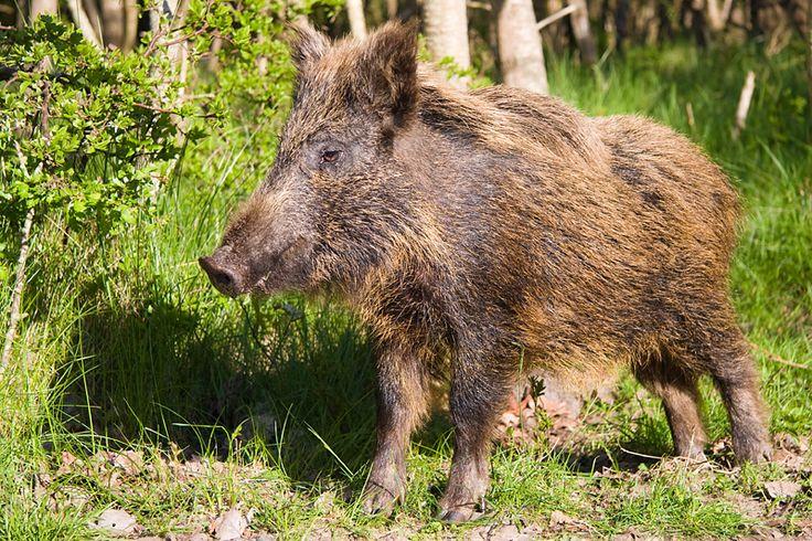 Fabulous  buschschwein Wildschweine u Warthogs Pinterest Wild boar Wild animals and Animal