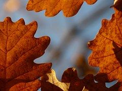 Oak Leaves, Oak, Quercus, Sessile Oak