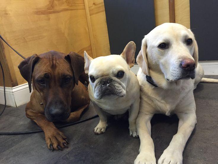 Rhodesian Ridgeback, French Bulldog and Labrador Retriever