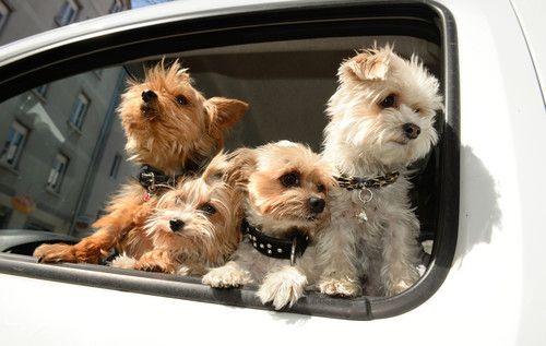犬と人間、見つめ合いで親密に 麻布大など研究 【4月17日 AFP】犬との愛の秘密は、瞳の中に──。犬と人間が互いの目を見つめ合うことで、双方に「愛情ホルモン」であるオキシトシンの分泌が促進されるとの研究論文を16日、麻布大学(Azabu University)動物応用科学科の菊水健史(Takefumi Kikusui)氏率いるチームが米科学誌「サイエンス(Science)」に発表した。  これまでの研究では、母親が赤ちゃんの目を見つめることで、オキシトシン生成が促進され、愛情、保護、親近感などの感情がわき上がることが分かっていた。論文は、犬と人間がアイコンタクトを通じ、信頼と感情面の結びつきを育むオキシトシンの分泌を高め、数百年にわたり共に進化して親密になった可能性を示唆している。 犬が野生のオオカミから進化して、人に慣れるペットや友達になった理由は、これと同じ仕組みが働いているからだと研究チームは指摘。「犬は、それぞれ犬と人間に最も近い近縁種のオオカミとチンパンジーに比べて、人間の社会的コミュニケーション行動を利用するのが上手だ」と述べている。…