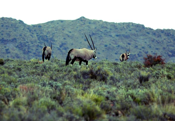 Gemsbok in the Karoo National Park, South Africa