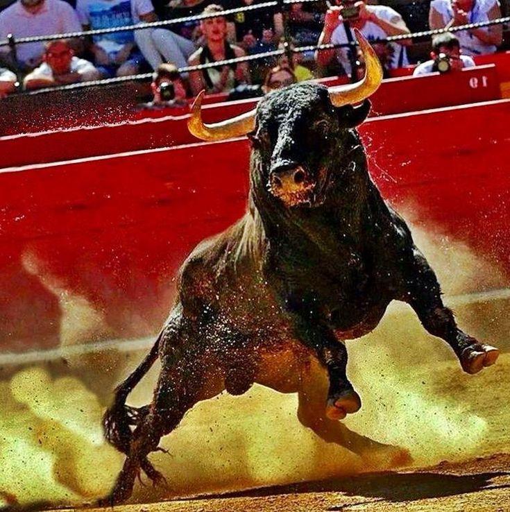 бык в ярости фото которой так легко