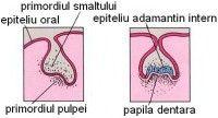 dezvoltarea_sistemului_dentar
