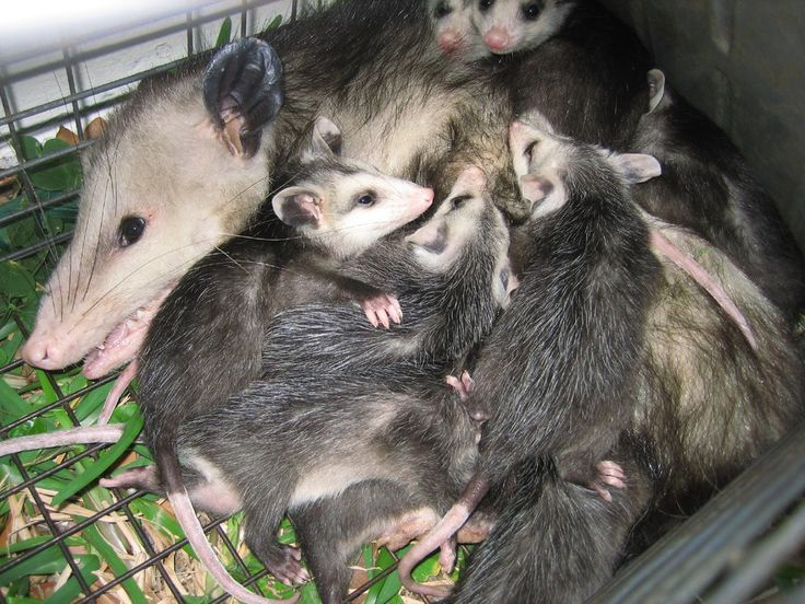 How To Get Rid Of Stubborn Possums At Home GMT Best