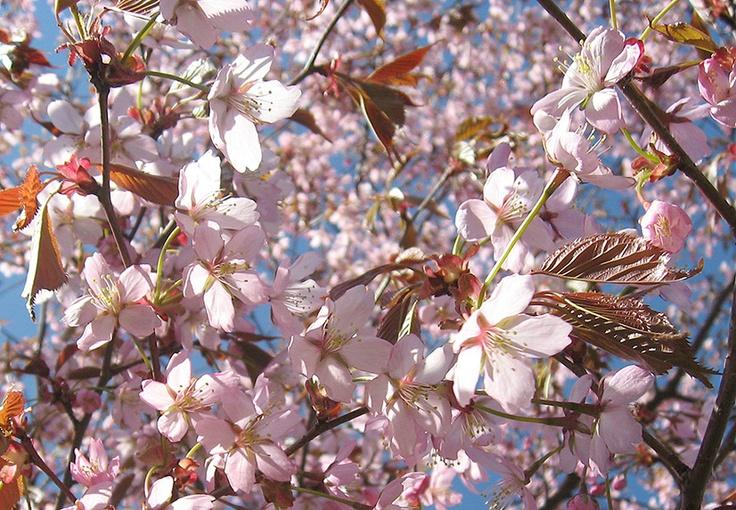 Kirsikkapuistossa täyttä