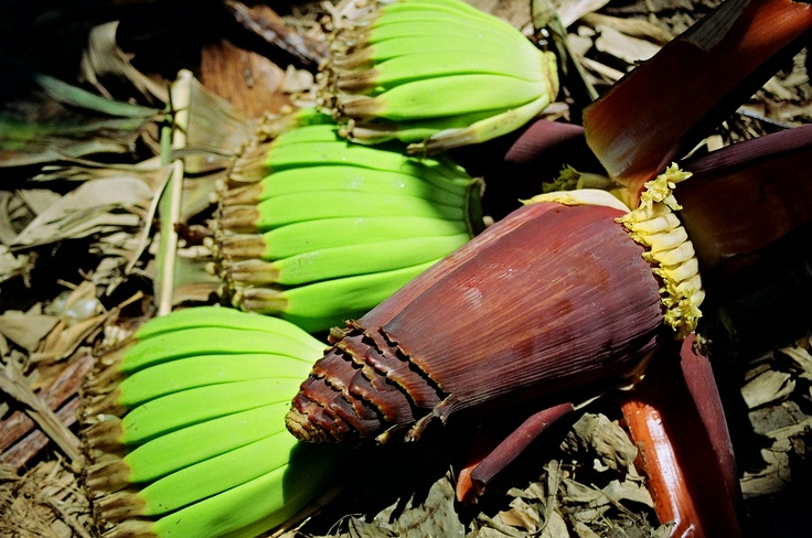 Banana flower, and discarded fruits.