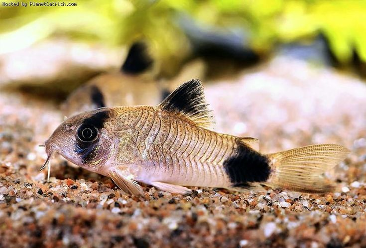 Corydoras panda-keep your corys with SMALL gentle fish!!! Keep a few-they school! Louise Glass
