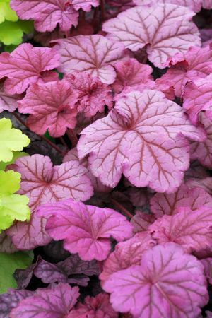 I saw this at a Garden store the other day and I LOVE IT! Berry Smoothie Coral Bells. Next on my list!!!!!
