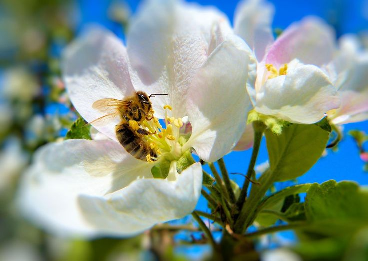Apple Orchard - Its time for the pollinators to ensure I get apples in the autumn! They work hard all day long! Thanks.