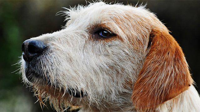 Image result for Welsh Hound