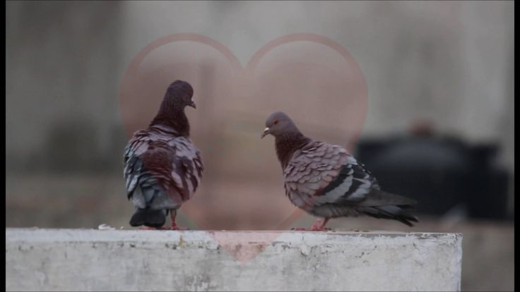 Love story of Pigeon