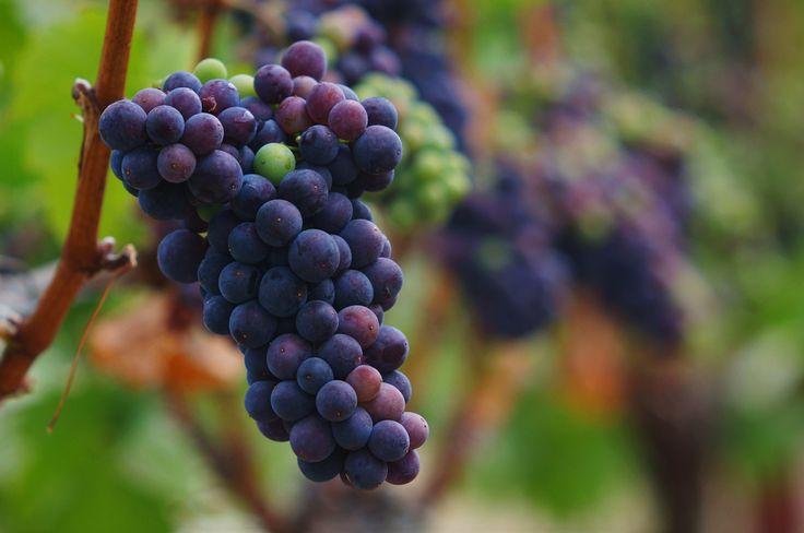 Maturing Pinot Noir. | by jamesfischer