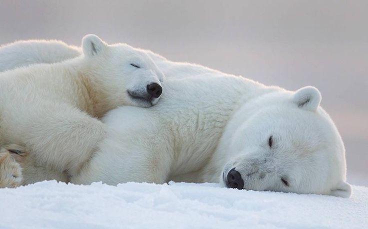 Maman ours polaire et son bébé