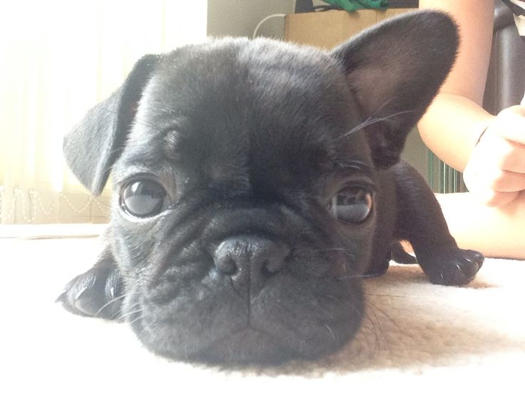 Frug. Pug cross French Bulldog