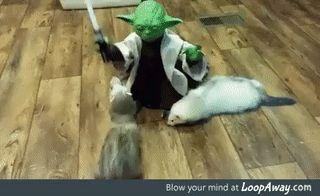 Yoda training ferrets