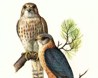 1961 Falcon Print, Merlin Bird Wall Art, Pigeon Hawk, bird of prey illustration, Vintage Ornithology