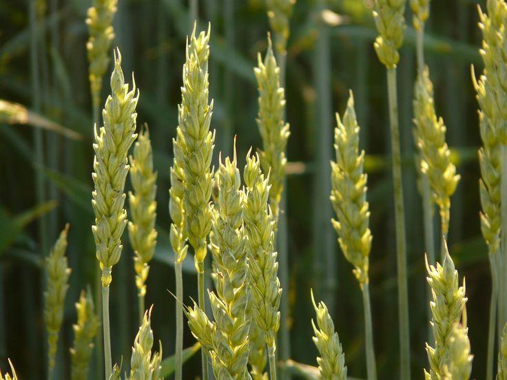 Az egyre gyakrabban hangoztatott tézis, miszerint a növényvédő szerek nélkülözhetetlenek a gyorsan növekvő népesség élelmezéséhez – csupán egy mítosz, állítják az ENSZ élelmiszer és környezetszennyezés szakértői.