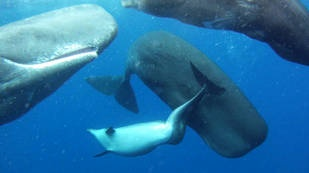 Marine biologists studying the waters near the Azores, North Atlantic, they found a group of sperm whales that have adopted a specimen thick-nosed dolphin adult suffering from a malformation of the spine.
