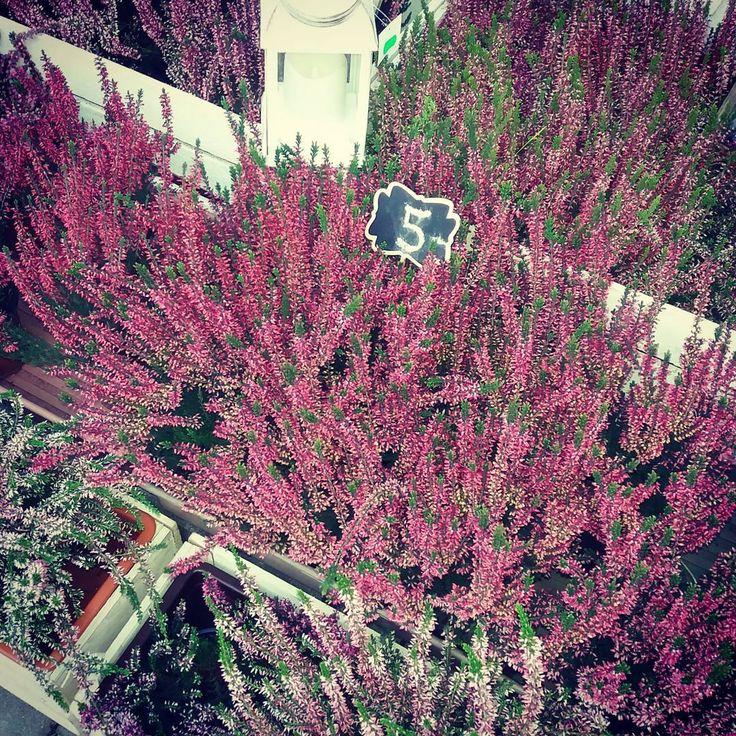 Kuszą mnie jesienne wrzosy 🌸❤ #jesień #wrzos