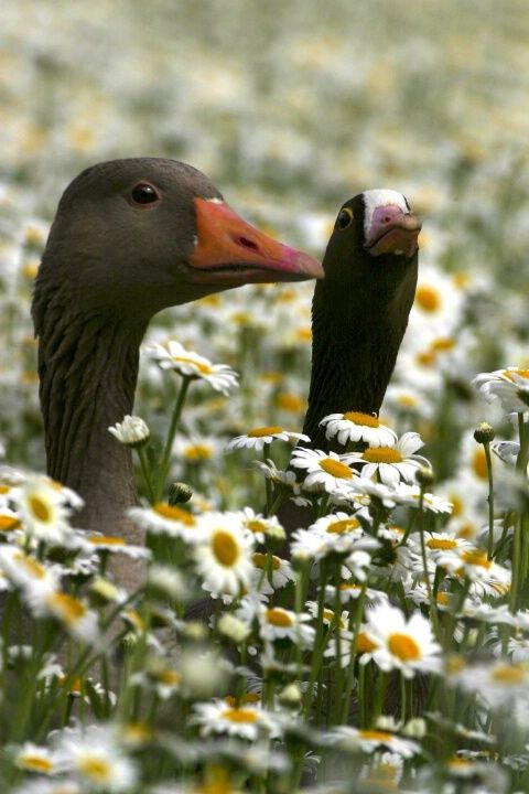 Black Swans in the Daisy Flowers