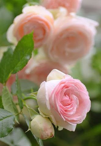 ♔ The French rose, 'Pierre de Ronsard'