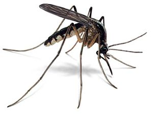 """Mosquitos leads us to more evidence for the memory B cells at centre stage for the causal pathway to MS.   In the week that began with a bit of Fake News about the cause of MS and it ends with something that is perhaps related to the cause  but two """"Cause"""" stories in a Week are not going to make it in the News. Why do I say cause because this is Genetics and this is the predisposition of Risk.  So what have B cells got to do with Mosquitos?  Read on Overexpression of the Cytokine BAFF and…"""