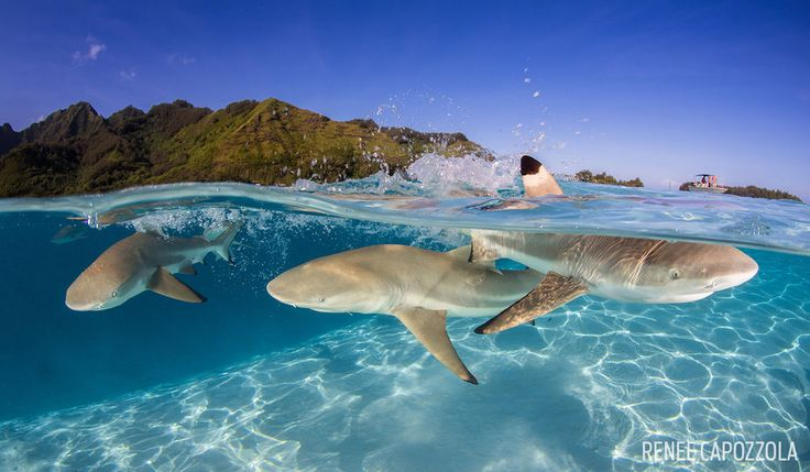 blacktip reef shark moorea french polynesia underwater photography split image scuba
