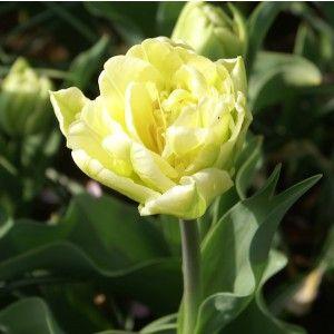 Tulpan Verona - doft och färg som citronsorbet, tidig fylld, ekologiska tulpanlökar